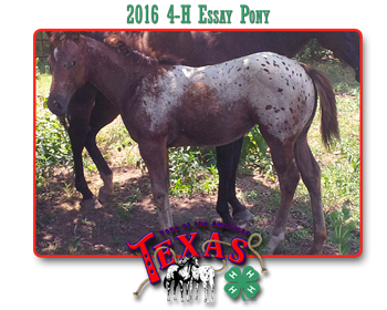 the red pony critical essay The red pony is the issue of a prize mare owned by ranchhand billy  while 10- year-old beau bridges essays one of his first featured roles.